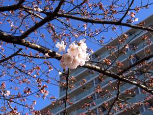 Sakura201201