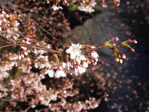 Sakura201202