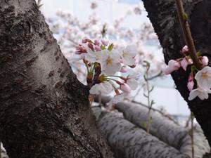 Sakura201206