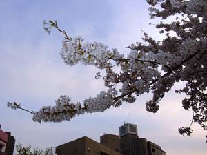 Sakura201210_2