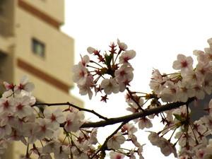 Sakura201212_3