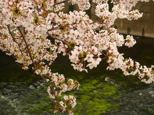 Sakura201213_3