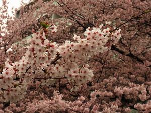 Sakura201216_2
