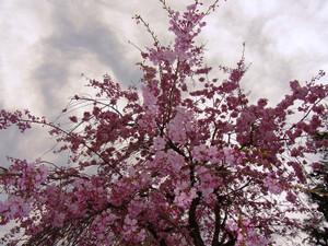 Sakura201218_2