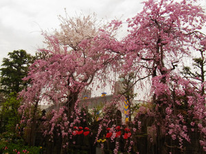 Sakura201219_2
