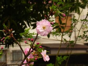 Sakura201220_3